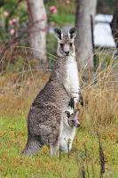 400px-Kangaroo_and_joey03.jpg